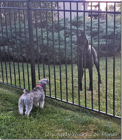 Great Dane Schnoodle stand off