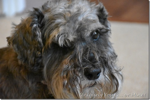 Cute Schnoodle - Chewy